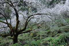 DSC_3689.jpg (lonnie127) Tags:  plumblossoms