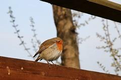 Pettirosso (GabrieleSv) Tags: winter bird nature robin wildlife natura inverno sirmione uccello gardalake lagodigarda pettirosso canonefs1755mmf28isusm canoneos7d