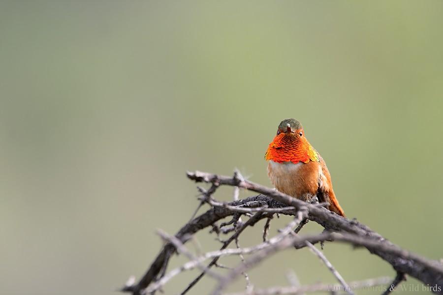 Allen's Hummingbird 01101-103