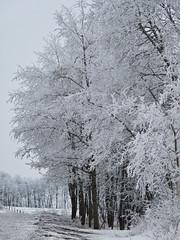 A black and white world (annkelliott) Tags: trees winter canada nature beautiful rural lumix countryside frost seasons hoarfrost alberta pointandshoot winterwonderland winterscene beautyinnature southernalberta frostcovered annkelliott southof22x fz28 panasonicdmcfz28 justsouthofcalgary p1330268fz28