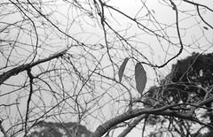 Lone Leaves