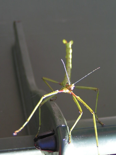 stickbug 2