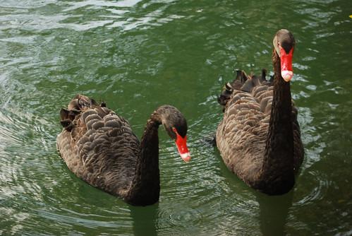 台南黑面琵鷺GO-2010020317-2