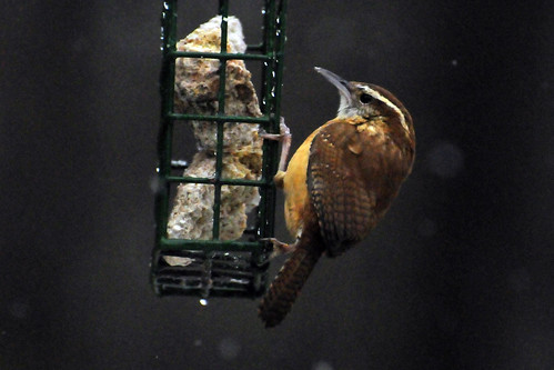 carolina wren suetfeeder