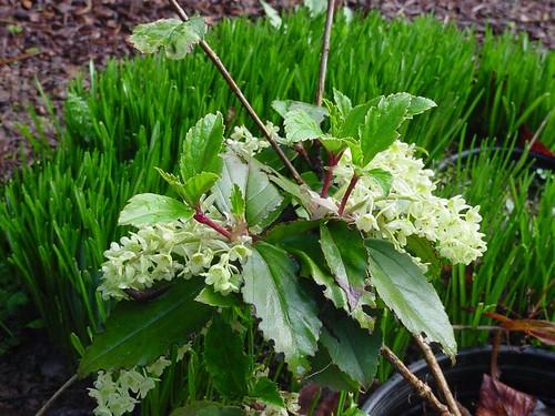 Ribes laurifolium
