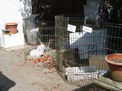 Shelter bunny (Tjflex2) Tags: pets canada cute rabbit bunny bunnies girl vancouver mammal furry bc friendship fuzzy conejo small adorable cuddly rabbits coelho playful usagi hrs krolik kanin toki houserabbitsociety lagomorpha lepus fenek iepure vrra muyal kelinci ilconiglio vancouverrabbitrescue coinin sungura bunnytwilightzone leporidea