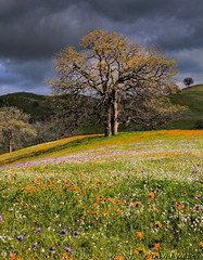Twin Oaks (DM Weber) Tags: california flowers foothills cloudy oaktrees sierranevadas bluedicks popcornflower coth fiddlenecks psa148 dmweber
