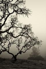 Slope (St0rmz) Tags: trees tree grass fog hill foggy petaluma slope