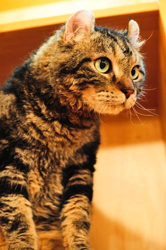 American Curl 01 / Cat Tail Ikoma