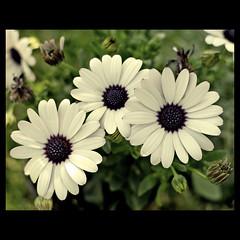 Conexiones (m@tr) Tags: barcelona flowers espaa flores canon amarillo catalunya ripollet conexiones canonef50mmf18ii canoneos400ddigital mtr marcovianna