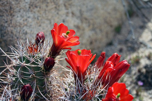 Joshua Tree cactus flower