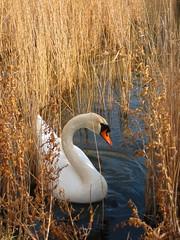 White Beauty (Monica Forss) Tags: white lake bird water animal digital skne swan sweden breathtaking supershot flickraward canonixus75 breathtakinggoldaward 100commentgroup bestofmywinners breathtakinghalloffame flickraward5 flickrawardgallery