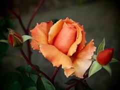 One Plus Two (saxonfenken) Tags: roses orange flower rose dof 99 buds undefined bigmomma gamewinner challengeyou challengeyouwinner a3b friendlychallenge 99flowers thechallengefactory herowinner storybookwinner pregamesweepwinner gigsgardenroses tqobuds