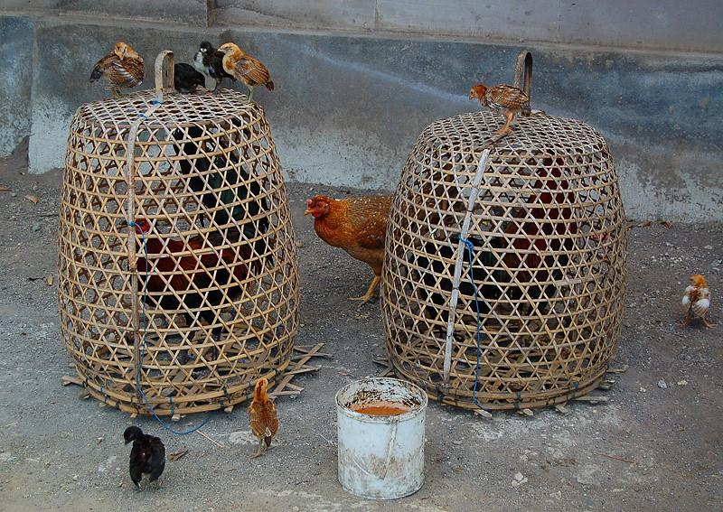 _Bali_chickens_