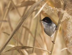 Curruca cabecinegra (Antonio Lorenzo Terrés) Tags: aves curruca cabecinegra fauna