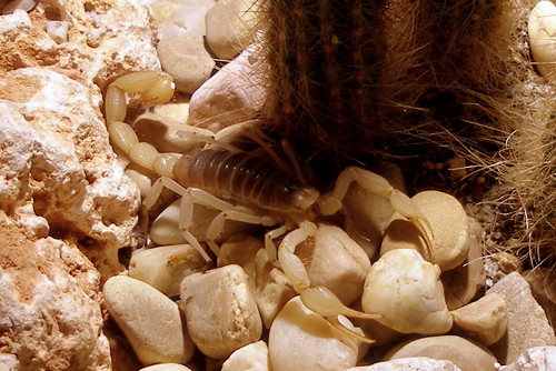 Escorpión del Desierto (Hadrurus arizonensis)