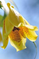キイジョウロウホトトギス  yellow Tricyrtis (myu-myu) Tags: flower nature yellow japan nikon nikkor mygarden 庭 naturesfinest ホトトギス nikkor105mmf28gvrmicro tricyrtismacranthopsis d300s キイジョウロウホトトギス