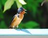When Swallows Are Speechless (ozoni11) Tags: bird nature birds animal animals interestingness nikon explore swallow ornithology swallows 433 passerine interestingness433 i500 michaeloberman ozoni11 explore433