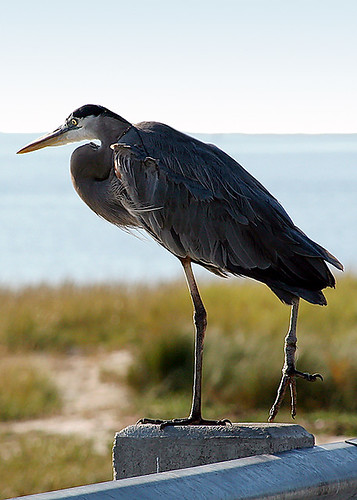 Blue Heron with Leg Tangled in Fishing Line
