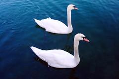 synchronised (thengl) Tags: blue lake 35mm see swan highcontrast swans parallel schwan f28 synchronized schwne iso125 synchron synchronisedswimming 1320sec sonycybershotdscw85 leopoldskronerweihersalzburg