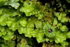 Araa de patas largas (AniSuperNova83) Tags: macro animal monster fauna forest spider eyes arachnid selva mini exotic ojos bosque freak patas araa supermacro negra bicho aracnido friki opilion largas supernova83 anisupernova