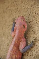 phylum: Chordata. Male Red-headed Rock Agama (Agama agama) - Serengeti NP, Tanzania