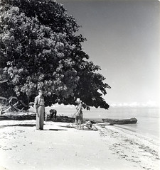 Hernandia tree on Buru Island