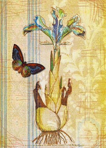 Etched Iris Sepia