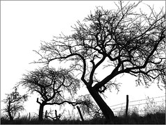 Alley of forgotten trees (RainerSchuetz) Tags: autumn trees fall silhouette fence treesilhouette alley explore highkey appletrees explored bej ubej