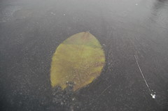 Lilly Pad (PJ Peterson) Tags: frozenlake kitsapcounty bucklake hansvillewashington