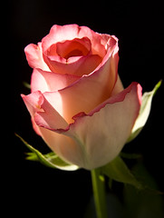 Blushing Rose (Theresa Elvin) Tags: pink white flower macro rose onblack mywinners flickrdiamond wonderfulworldofflowers mimamorflowers