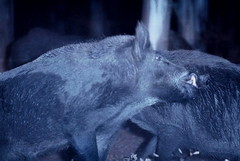 Wild boars fighting. Lucha de jabales (Kateimi) Tags: naturaleza nature night noche fight lutte wildlife nuit lucha wildanimals cinghiale wildboar jabal sanglier javali kateimi