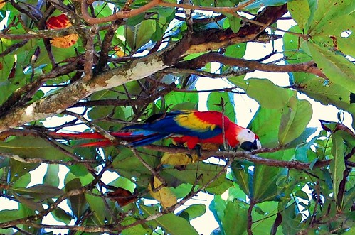 Costa Rica_macaw