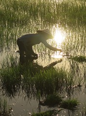 (Andrew Ferrier) Tags: travel woman sun reflection water work canon reflections countryside asia afternoon rice south working an east vietnam fields late shining hoi flooded paddies 40d
