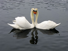 Symmetry (Deklina) Tags: reflection birds animals swan symmetry explore swans animalplanet lakebled thechallengefactory canonpowershotsx10is