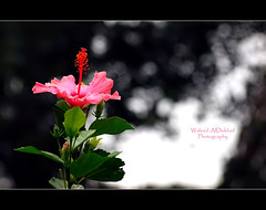 Beautiful Life ~ (Waleed Ibrahem) Tags: life flowers flower beautiful rose island bokeh olympus xiamen 70300mm zuiko waleed                   e620    aldokhail