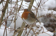 Robin (Lilycat09 (more off than on for now)) Tags: winter red snow bird robin foliage gardenbird