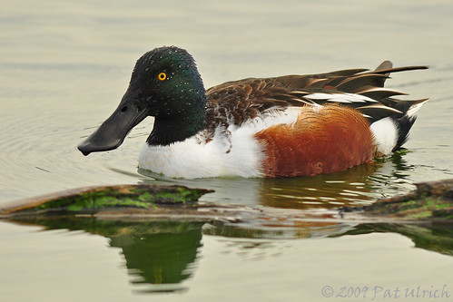 Shoveler drake with water droplets