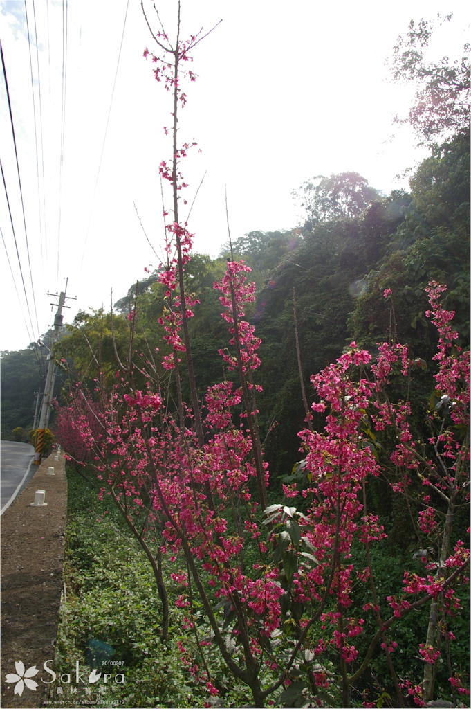 過期的櫻花