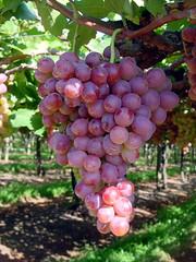 FPM479 Uva, variedade Rubi (Fernando Picarelli Martins) Tags: uva grape naturalmutation vitisvinifera tablegrape uvademesa uvafinademesa variedaderubi mutaçãonatural brazilianvariety