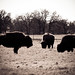48/365: Where the Buffalo Roam