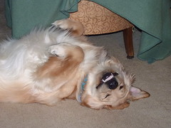 dog puppy golden upsidedown sleep vampire teeth retriever fangs