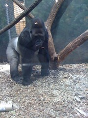 Gorilla at Lincoln Park Zoo #2