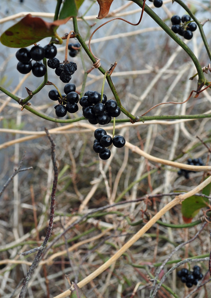 Smilax Fruit 1