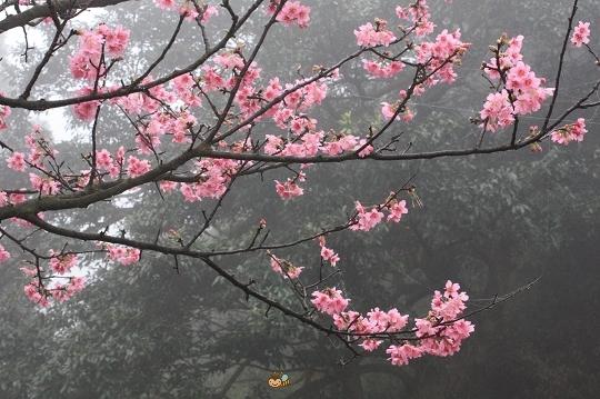 2010.0227天元宮探吉野櫻花況  (30).jpg