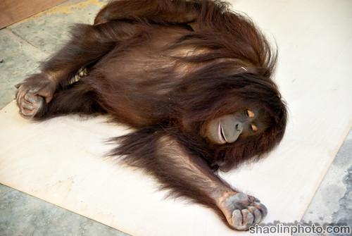 Plywood Orangutan