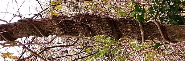 木の幹につた