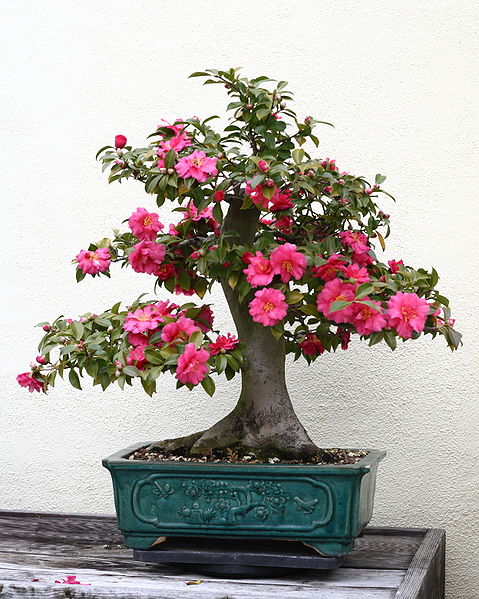 479px-Japanese_Camellia_bonsai_55,_December_24,_2008[1]