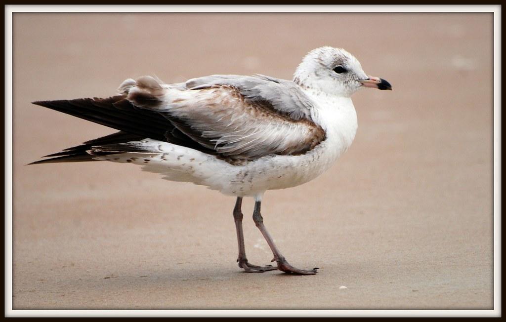Bird - Seagull close up