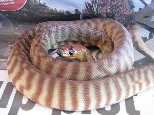 Wompa Python